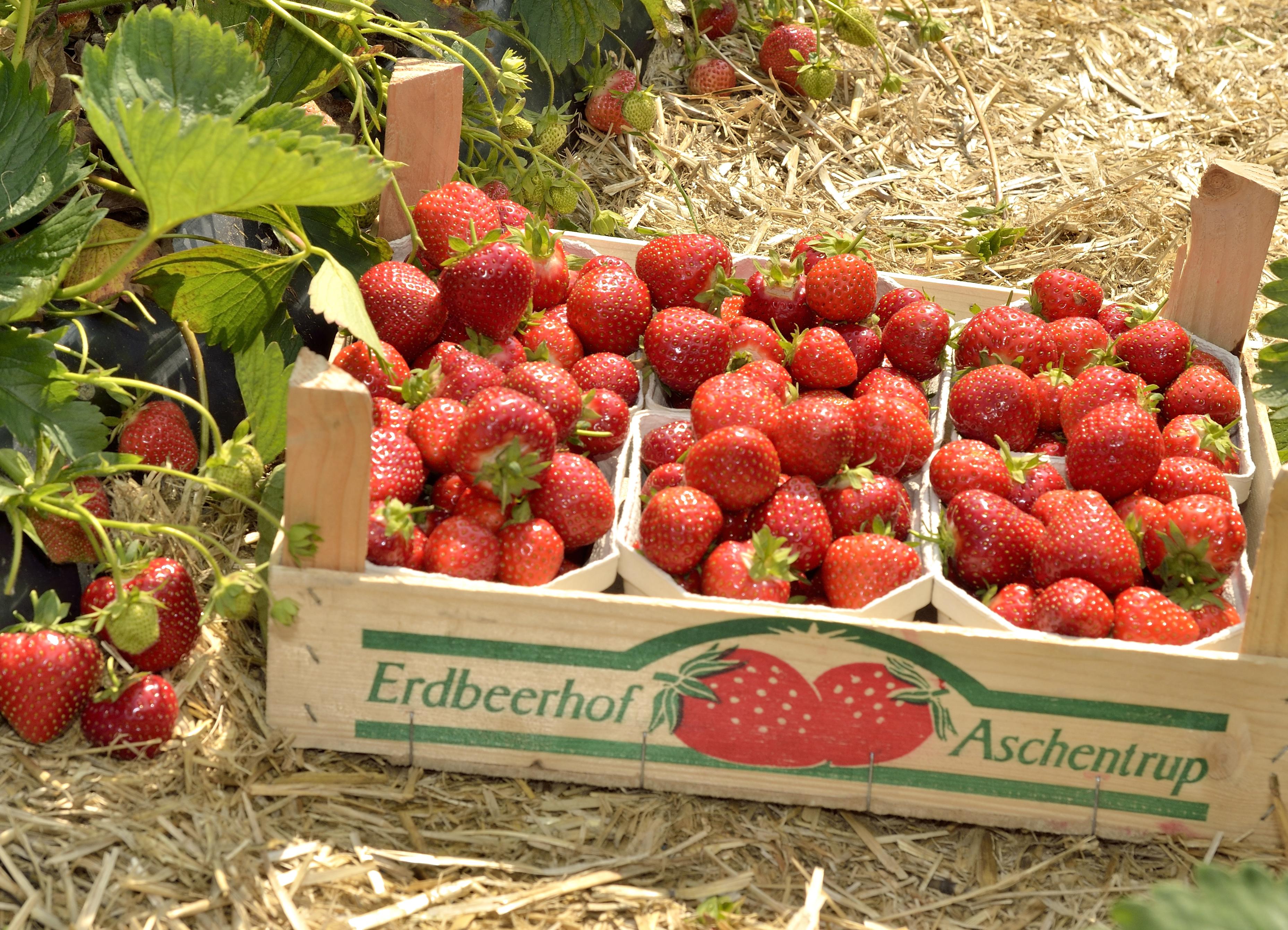 Erdbeeren-von-aschentrup