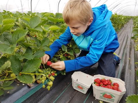Erdbeeren pflücken mit Kindern