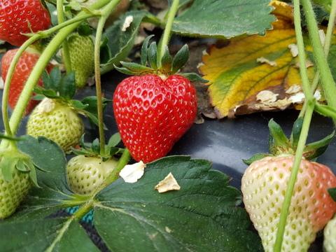 Erdbeere erste Früchte 2018