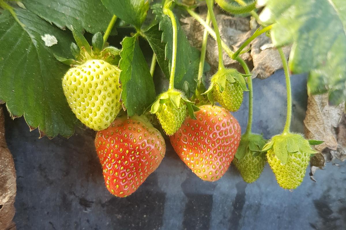 Erste Erdbeeren nach Ostern