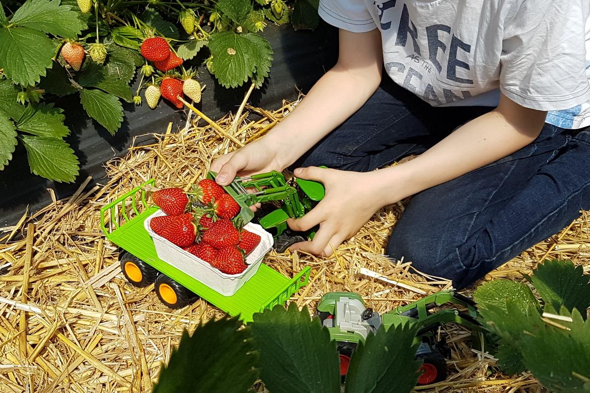Erdbeer-Transporte