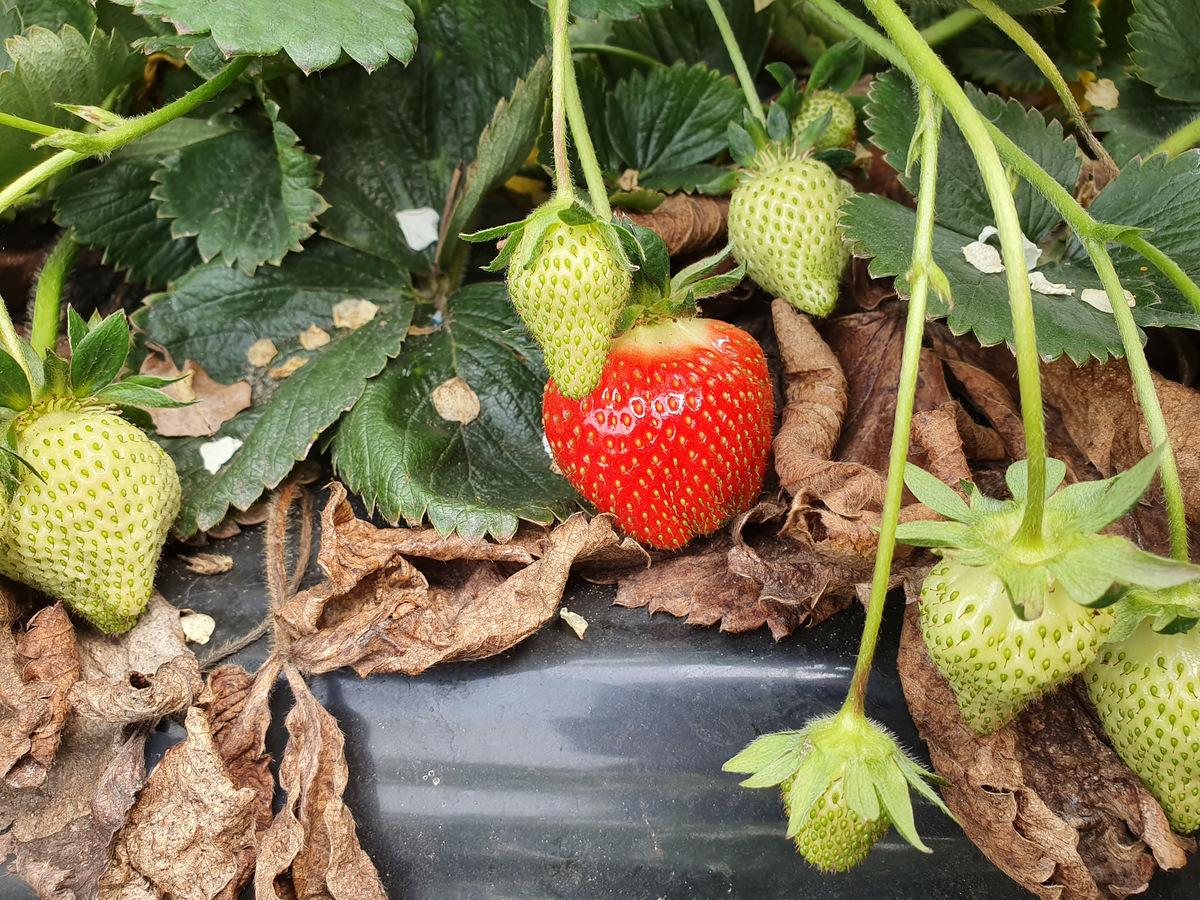 Die ersten Erdbeeren